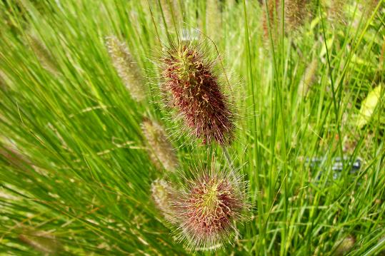 Penisetum alopecuroides